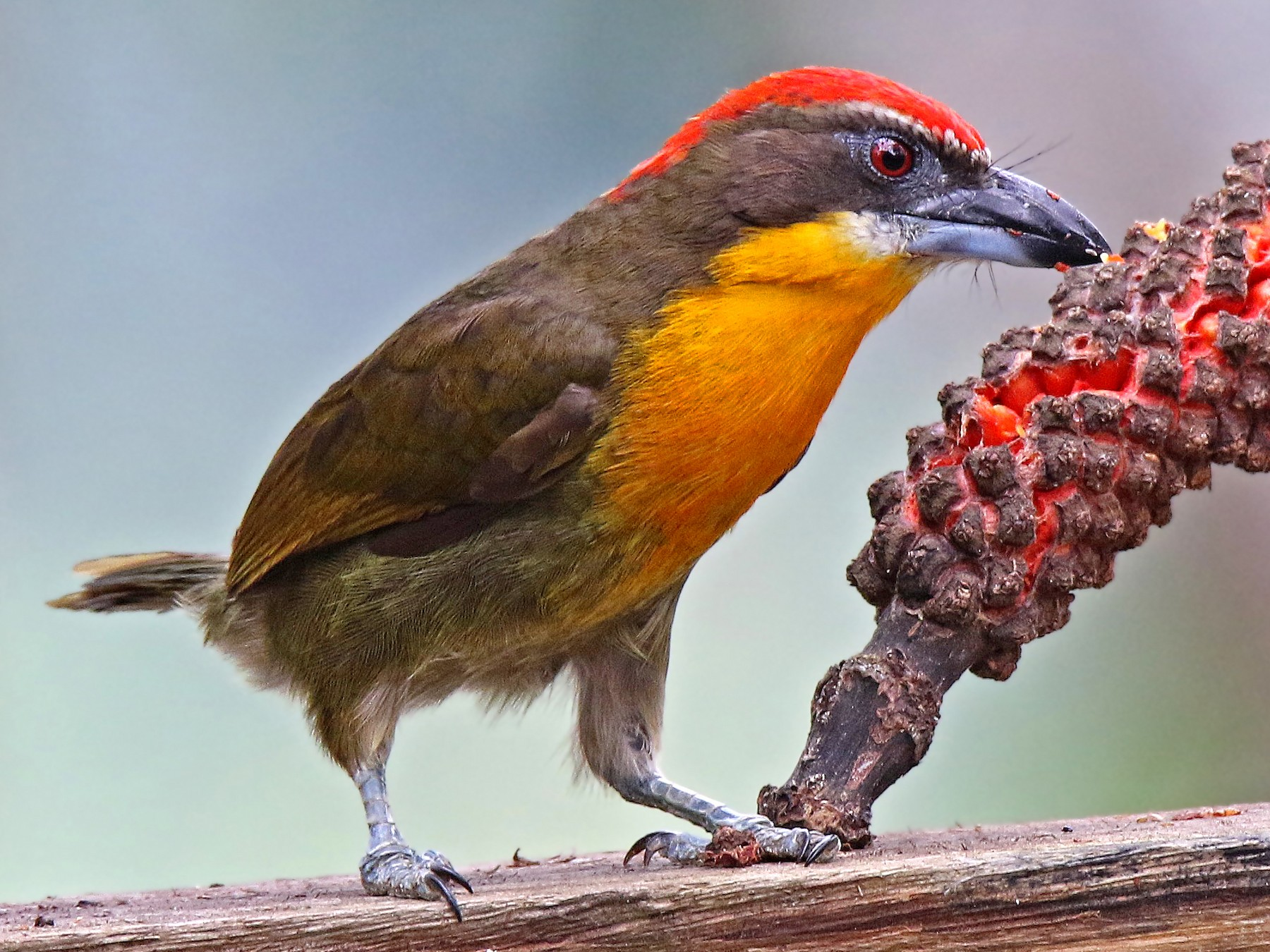 Scarlet-crowned Barbet - Roger Ahlman