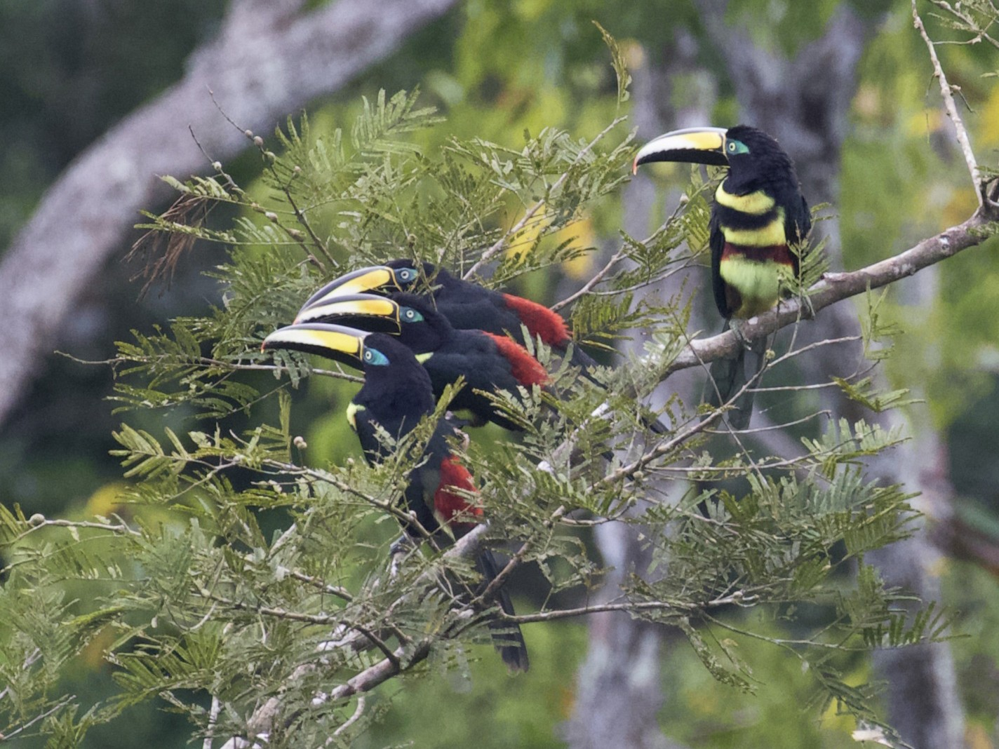 Many-banded Aracari - Stan Lilley