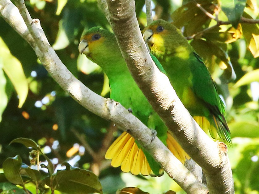 Golden-tailed Parrotlet - Gilvan Santos