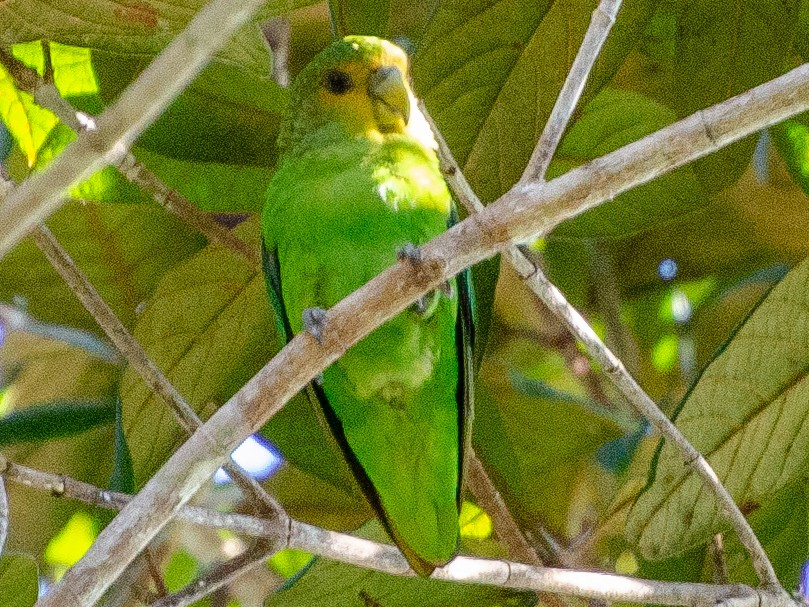 Golden-tailed Parrotlet - Allisson Cafeseiro