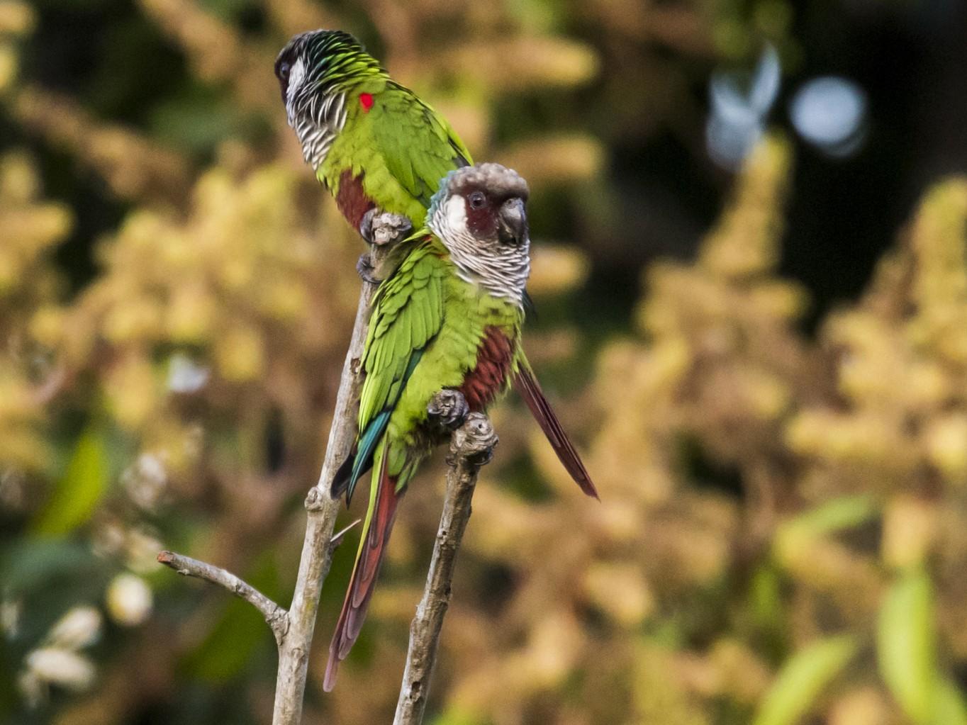 Gray-breasted Parakeet - Claudia Brasileiro