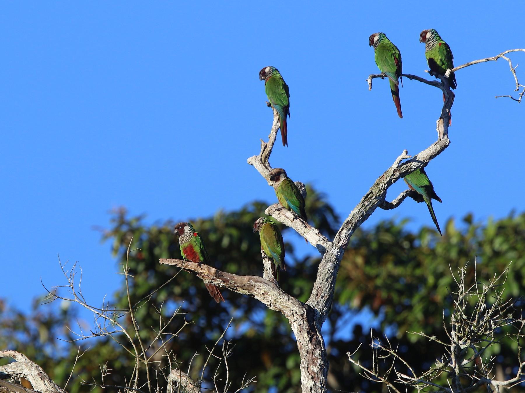 Gray-breasted Parakeet - Thompson Ian