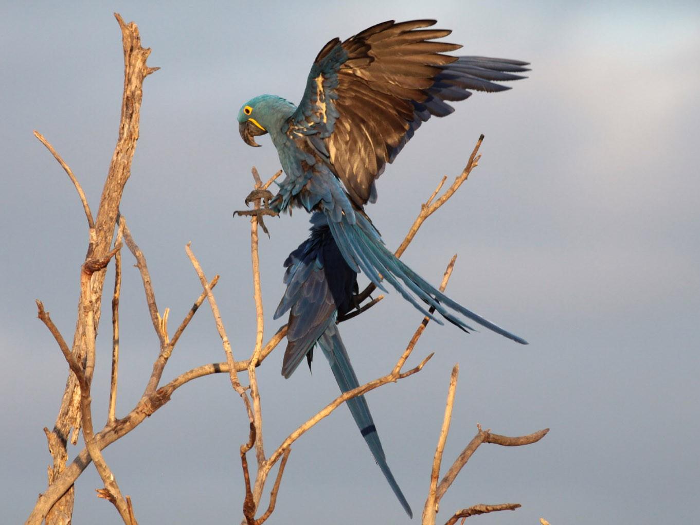 Hyacinth Macaw - Michael Todd