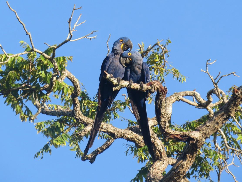 Hyacinth Macaw - Willian Menq