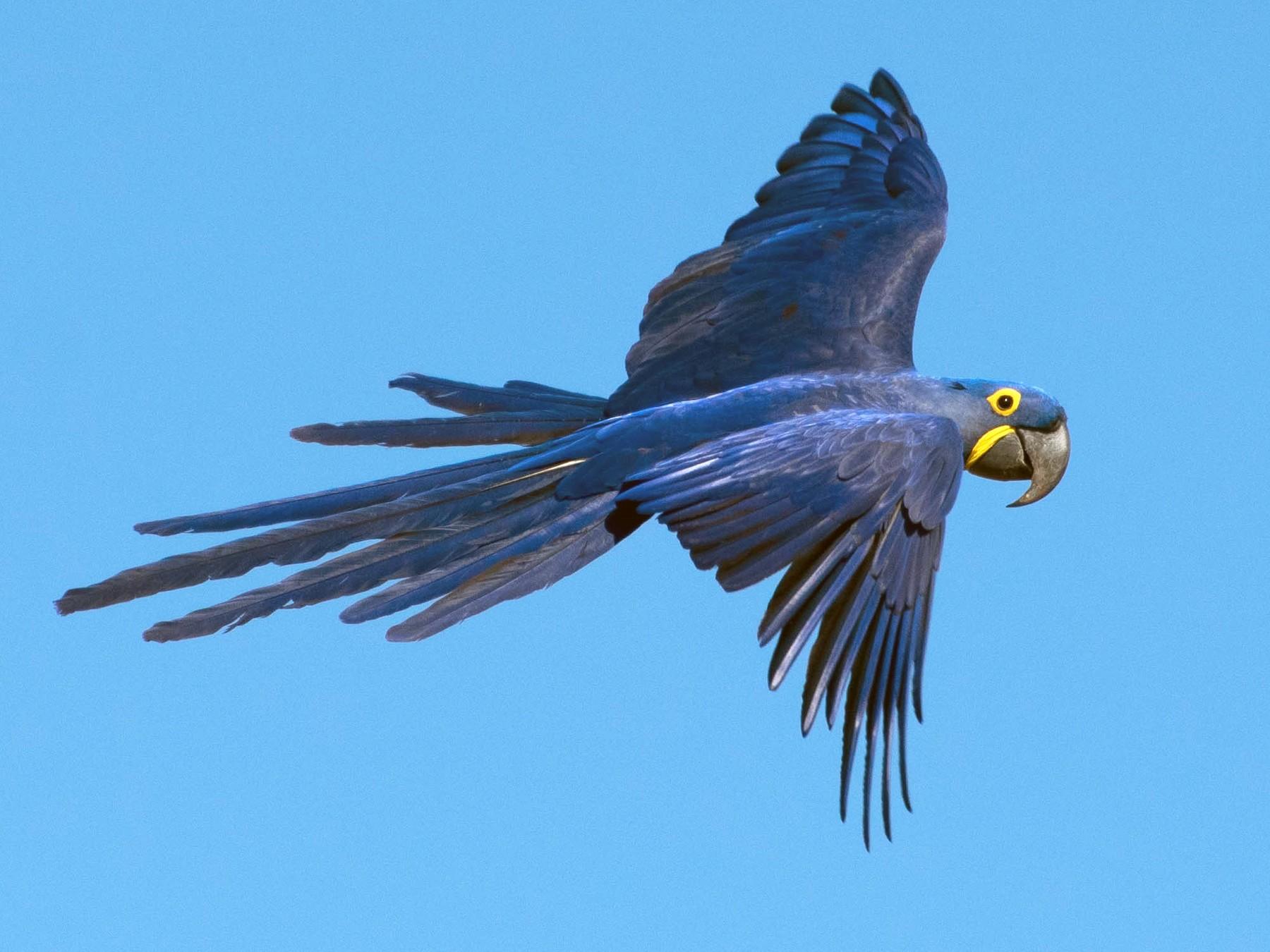 Hyacinth Macaw - Naíla  Lepre