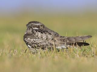 - Common Nighthawk