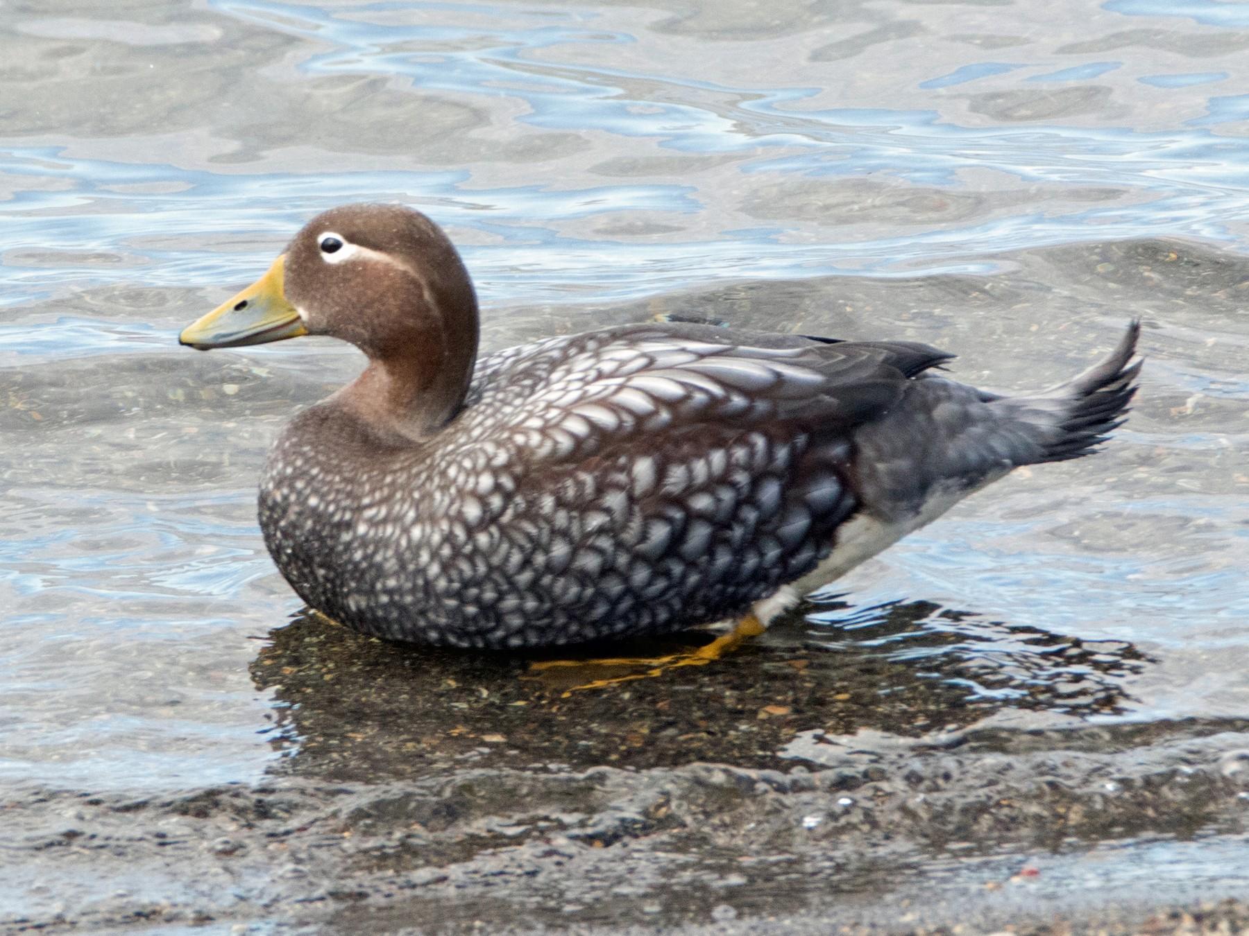 Flying Steamer-Duck - Ken Pulvino