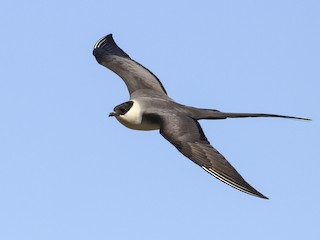 - Long-tailed Jaeger