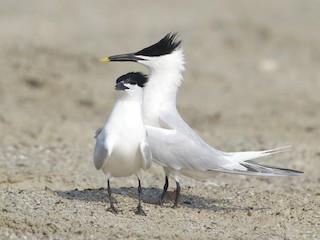 - Sandwich Tern