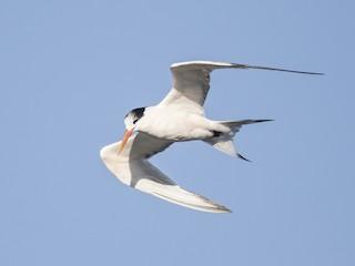 - Elegant Tern