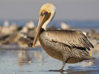 - Brown Pelican (Atlantic)