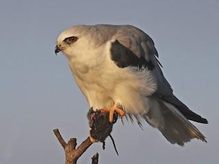 - White-tailed Kite