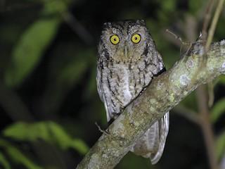 - Whiskered Screech-Owl