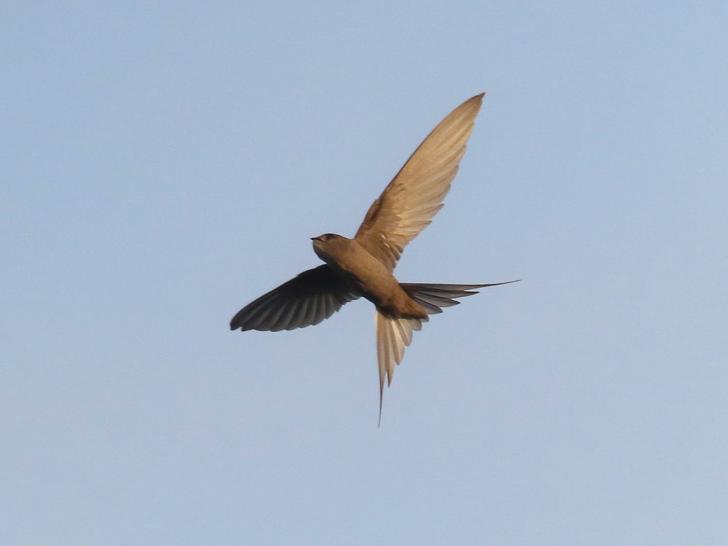 African Palm-Swift - Michael O'Brien