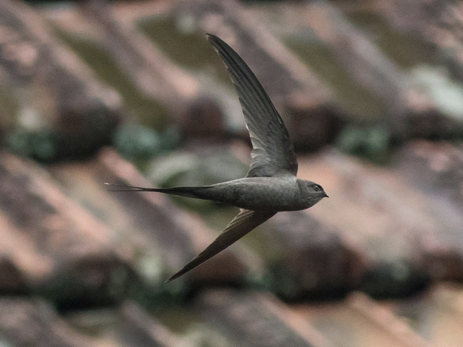 African Palm-Swift - Joachim Bertrands