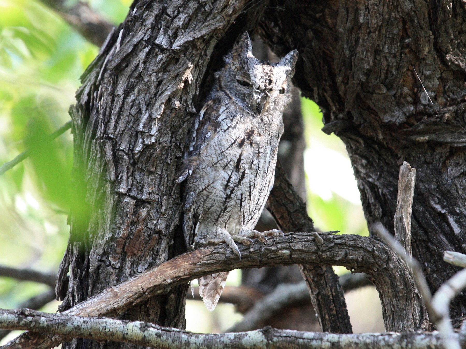African Scops-Owl - Gordon Saunders