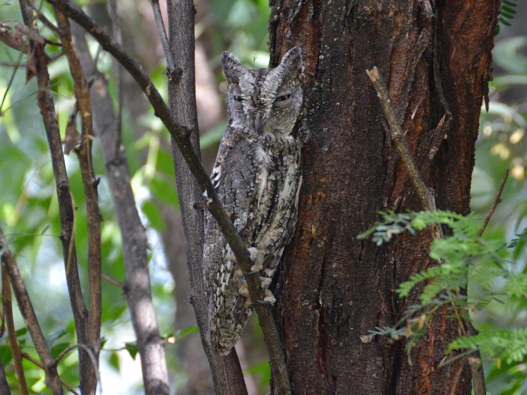 African Scops-Owl - Bruce Wedderburn