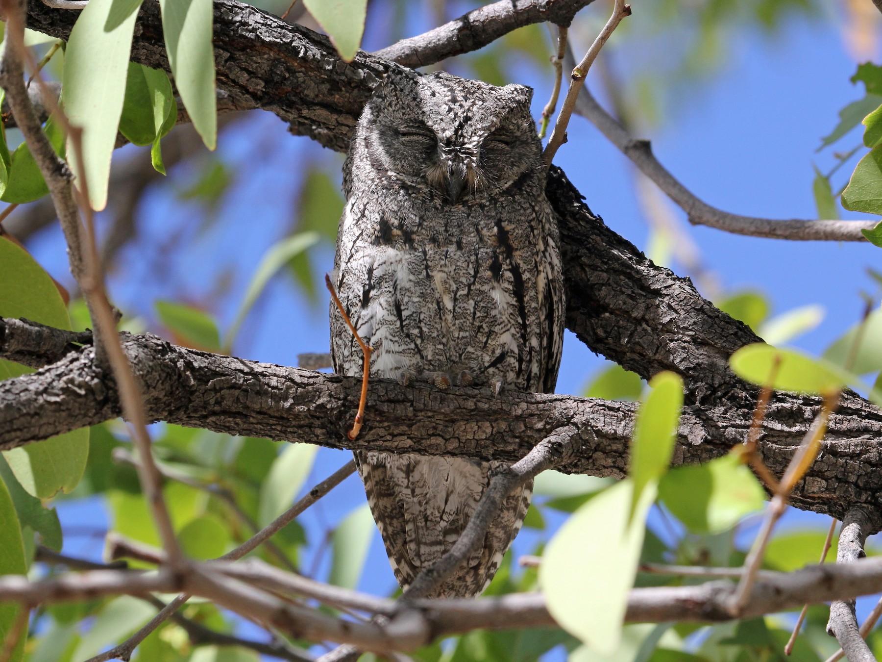 African Scops-Owl - John Bjorkman