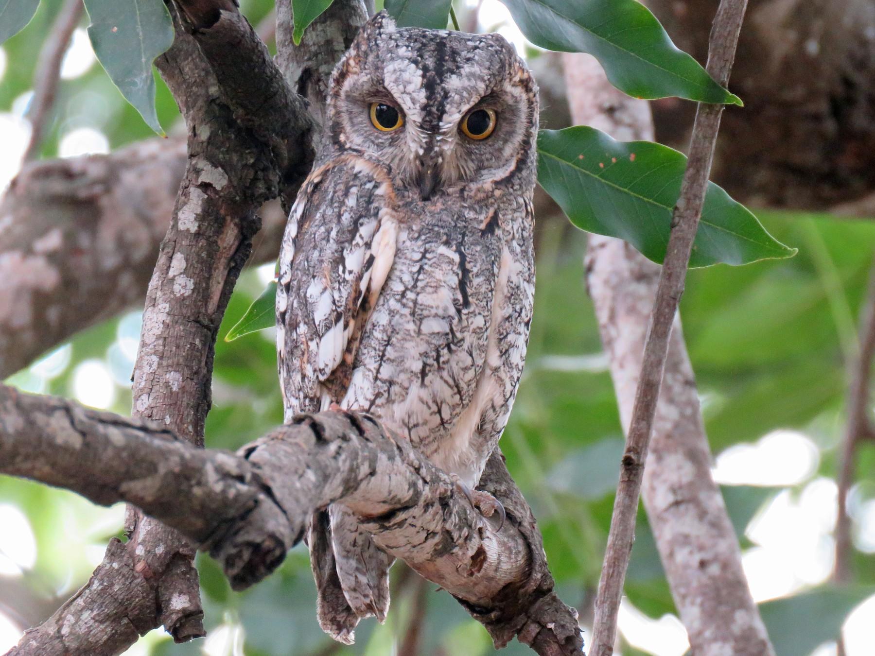 African Scops-Owl - Brad Arthur