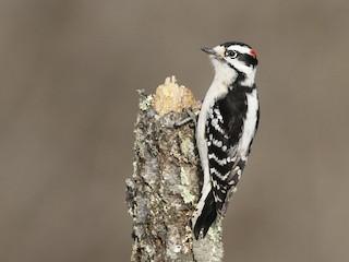 - Downy Woodpecker