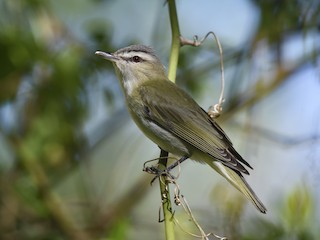 - Red-eyed Vireo