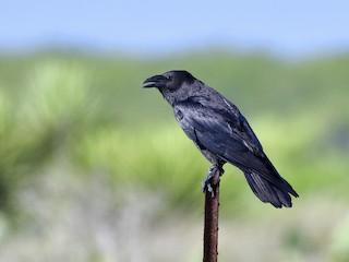 - Chihuahuan Raven