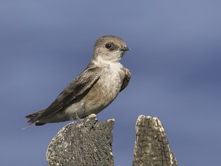 - Northern Rough-winged Swallow