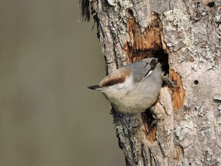- Brown-headed Nuthatch