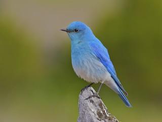 - Mountain Bluebird