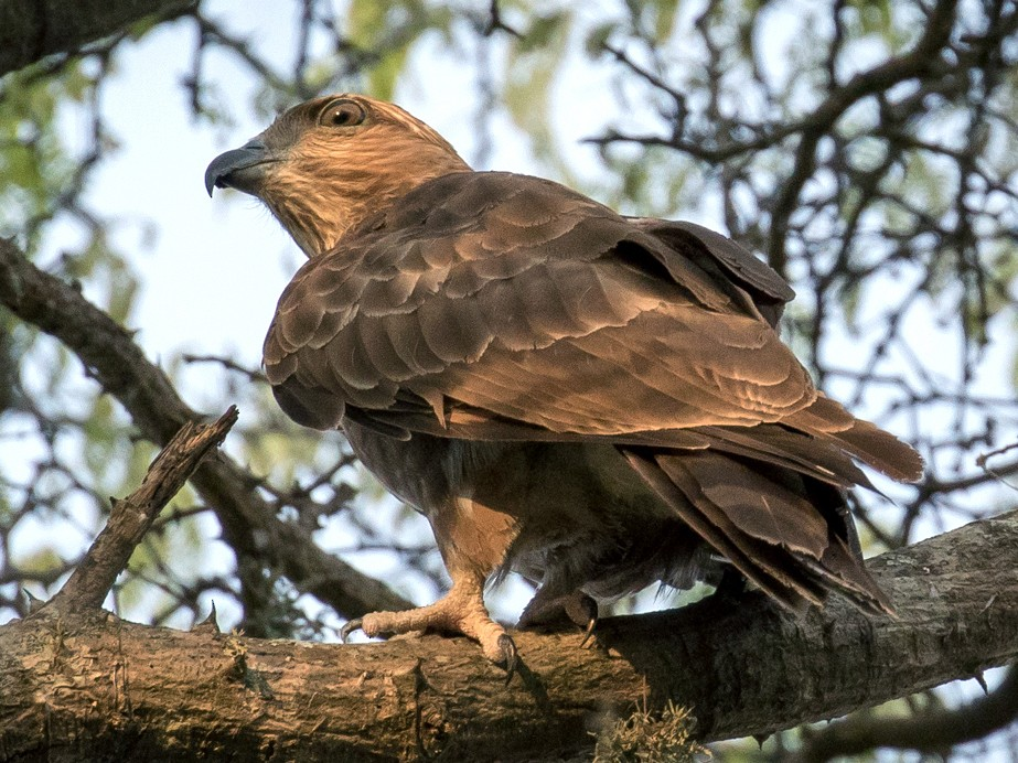 Madagascar Cuckoo-Hawk - Skip Russell