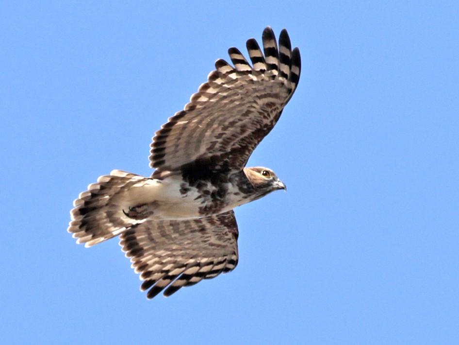 Madagascar Cuckoo-Hawk - Charley Hesse TROPICAL BIRDING