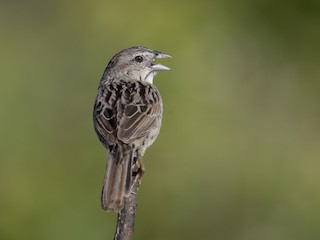- Botteri's Sparrow (Peten)