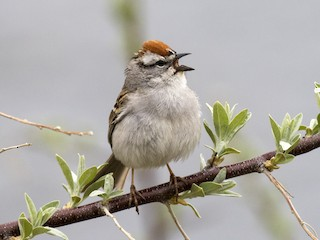 - Chipping Sparrow