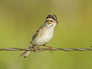 - Clay-colored Sparrow