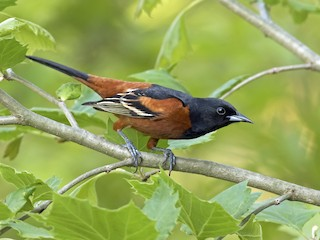 - Orchard Oriole