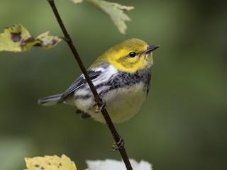 - Black-throated Green Warbler