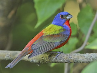 - Painted Bunting