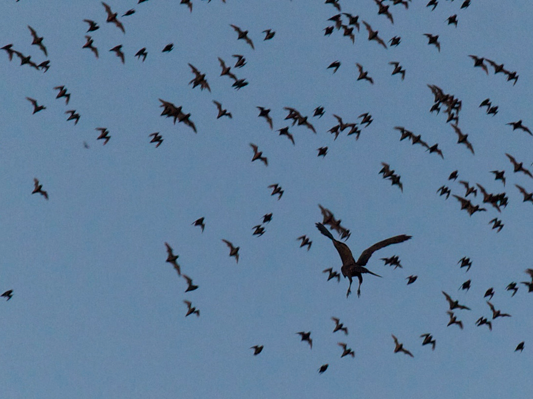 Bat Hawk - Robert Tizard