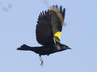 - Yellow-shouldered Blackbird
