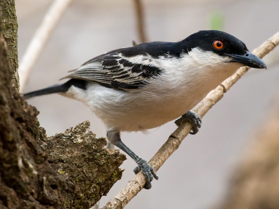 Black-backed Puffback - Jon Lowes