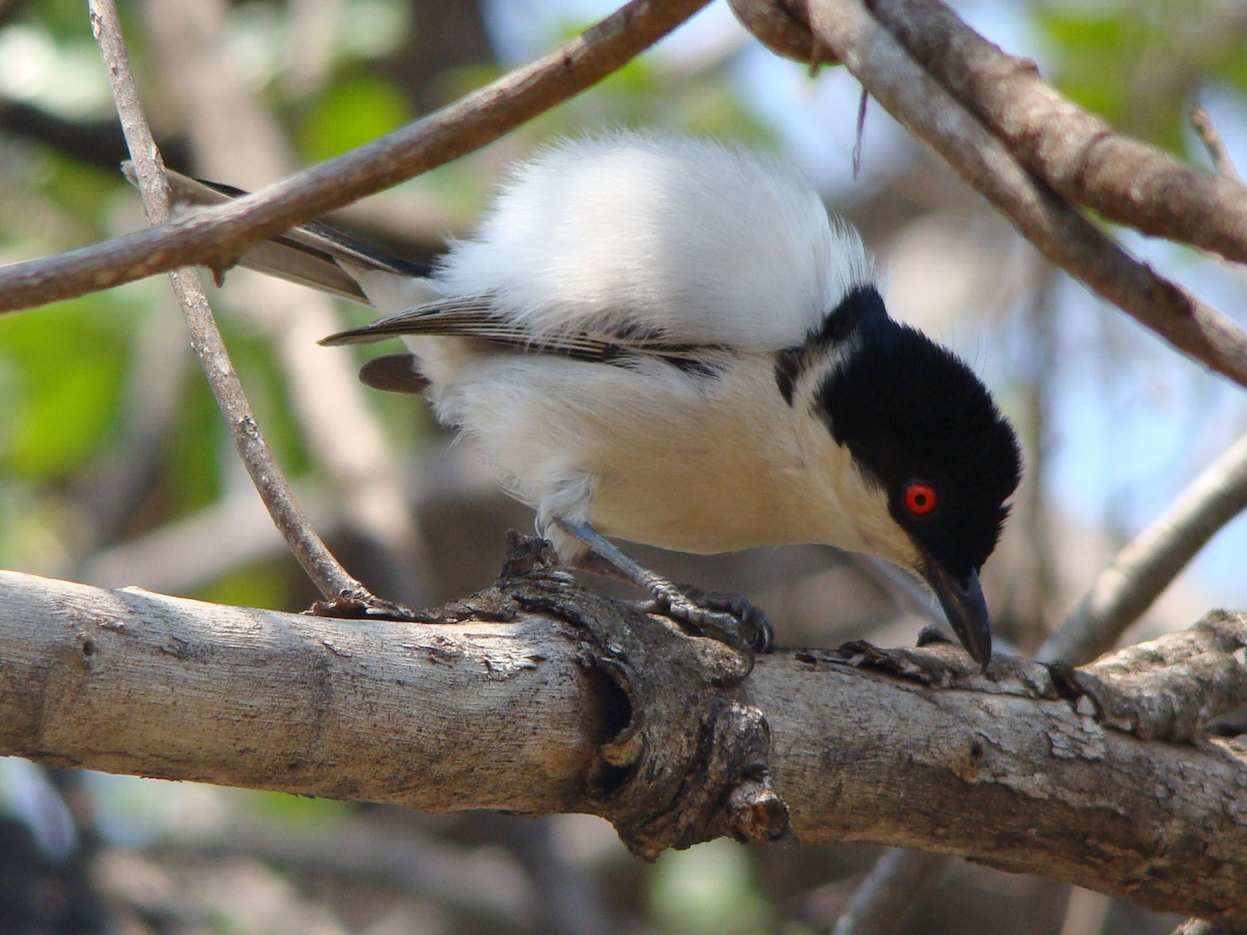 Black-backed Puffback - Steve Patmore