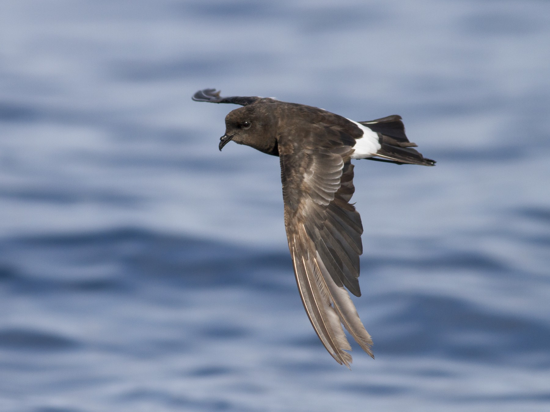 Wilson's Storm-Petrel - Tom Reed