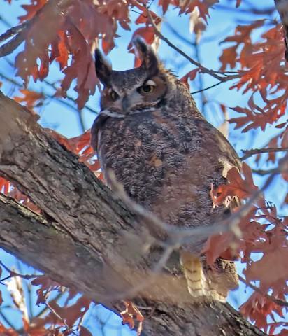 Great Horned Owl - John Zakelj