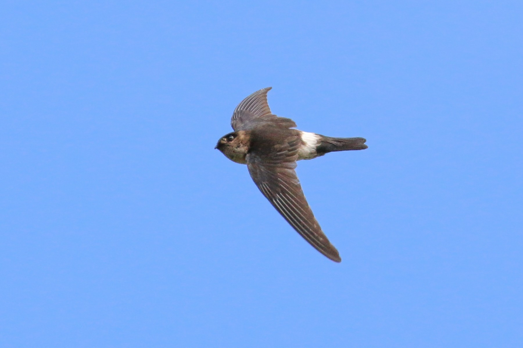 White-rumped Swiftlet - Tommy Pedersen
