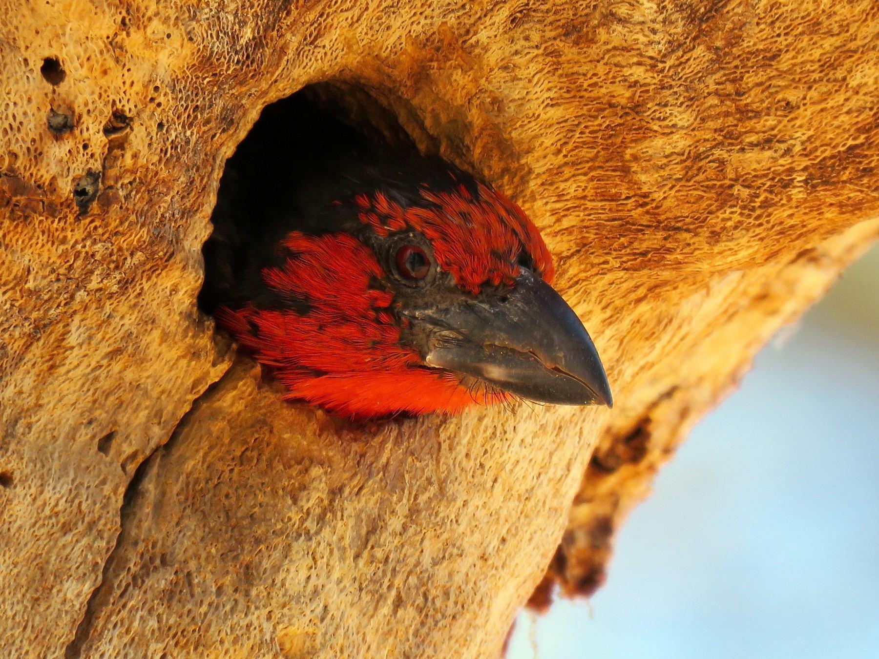 Black-collared Barbet - Mich Coker