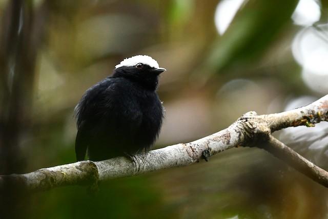 White-crowned Manakin male (presumed subspecies <em>occulta</em>)