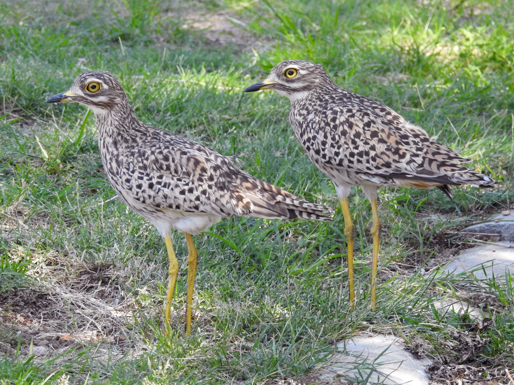 Spotted Thick-knee - Gareth Parkes