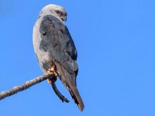 - Plumbeous Kite