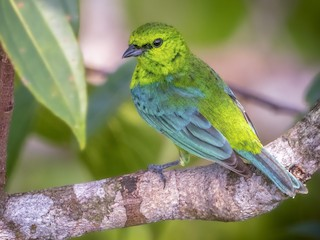 - Dotted Tanager
