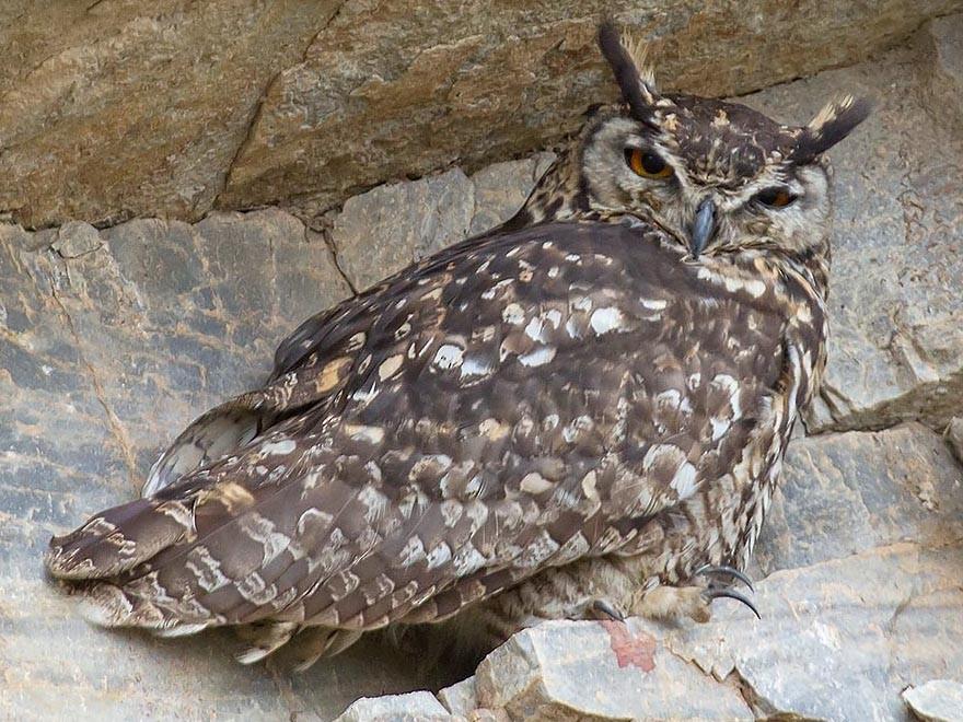 Cape Eagle-Owl - Bruce Ward-Smith